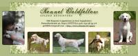 Kennel Goldfellow kasvattajamainos / breeder ad