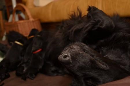 Metsävirnan Kentuckian Lily & puppies